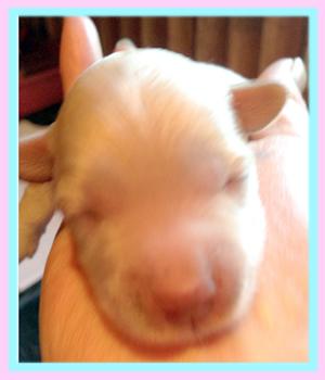 ミックス マルプー 子犬販売の専門店 AngelWan 横浜