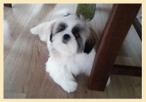 シーズー 母犬 子犬販売の専門店 AngelWan 横浜