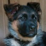 ジャーマンシェパードドッグ ブリーダー 子犬販売 ペットショップ