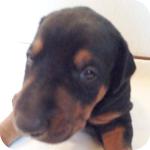ドーベルマン ブラック&タン オス 子犬販売の専門店 AngelWan 横浜