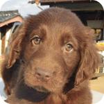 フラットコーテッドレトリバー レバー メス 子犬販売の専門店 AngelWan 横浜