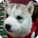 シベリアンハスキー シルバー&ホワイト メス 子犬販売の専門店 AngelWan 横浜