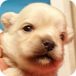 ミックス ペキニーズ トイプードル メス 子犬販売の専門店 AngelWan 横浜