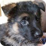 ジャーマンシェパードドッグ ブラックタン メス 子犬販売の専門店 AngelWan 横浜