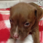 アメリカンピットブルテリア 子犬販売の専門店 AngelWan ブリーダー