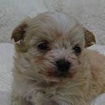 チワプー ブリーダーの子犬・子猫販売 AngelWan 横浜