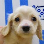 カニーンヘンダックスフンド ブリーダー 子犬専門店 AngelWan 横浜