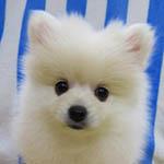 ポメラニアン ブリーダー 子犬専門店 AngelWan 横浜