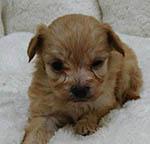 チワプー ミックス 子犬販売の専門店 AngelWan 横浜 ブリーダー