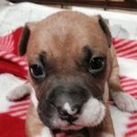 アメリカンピットブルテリア ブリーダー 子犬販売の専門店 AngelWan 横浜