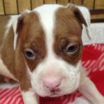 アメリカンピットブルテリア ブリーダー 子犬販売の専門店 AngelWan