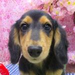 カニーンヘンダックスフンドの子犬