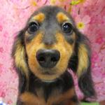 カニーンヘンダックスフンド ブリーダー 子犬販売の専門店 AngelWan
