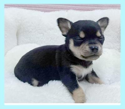チワワ スムース ブラックタン&ホワイト オス 子犬販売の専門店 AngelWan 横浜