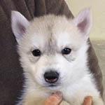 シベリアンハスキー ブリーダー 子犬専門店 AngelWan