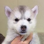 シベリアンハスキー ブリーダー 子犬専門店 AngelWan 横浜