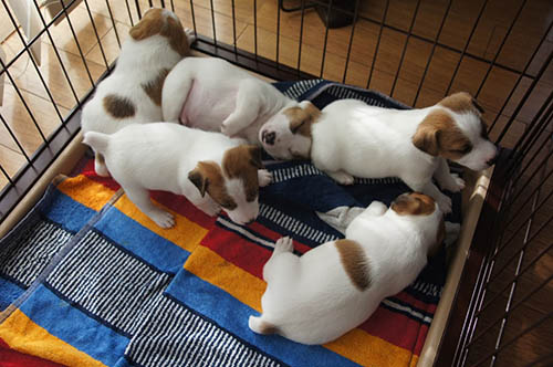 ジャックラッセルテリア ブリーダー 子犬専門店 AngelWan 横浜