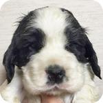 イングリッシュコッカースパニエル ブラック&ホワイト オス 子犬販売の専門店 AngelWan 横浜