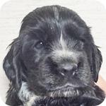 イングリッシュコッカースパニエル ブラック オス 子犬販売の専門店 AngelWan 横浜