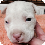 アメリカンピットブルテリア ホワイト オス 子犬販売の専門店 AngelWan 横浜