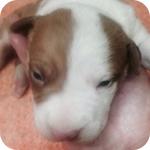 アメリカンピットブルテリア レッド&ホワイト メス 子犬販売の専門店 AngelWan 横浜