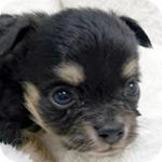 チワワ ブラックタン オス 子犬販売の専門店 AngelWan 横浜