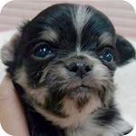 チワワ ブラックタン&ホワイトマーキング オス 子犬販売の専門店 AngelWan 横浜