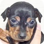 ミニチュアピンシャー ブラックタン メス 子犬販売の専門店 AngelWan 横浜