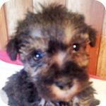 ミックス シュナプー ソルト&ペッパー メス 子犬販売の専門店 AngelWan 横浜