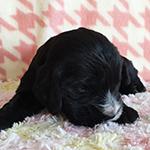 イングリッシュコッカースパニエル 子犬専門店 AngelWan 横浜