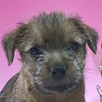 ノーフォークテリア ブリーダー 子犬専門店AngelWan 横浜