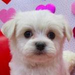 MIX 子犬販売の専門店 AngelWan 横浜