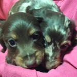 ミニチュアダックスフンド ブリーダー 子犬販売の専門店 AngelWan