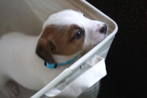 ジャックラッセルテリア JKC 小型犬
