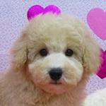 トイプードル ブリーダー子犬専門店 AngelWan 横浜