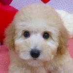トイプードル 子犬専門店 AngelWan 横浜