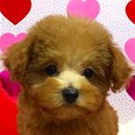 トイプードル ブリーダー 子犬専門店AngelWan 横浜