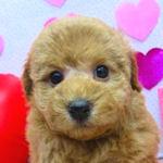 トイプードル ブリーダー 子犬販売の専門店 AngelWan 横浜