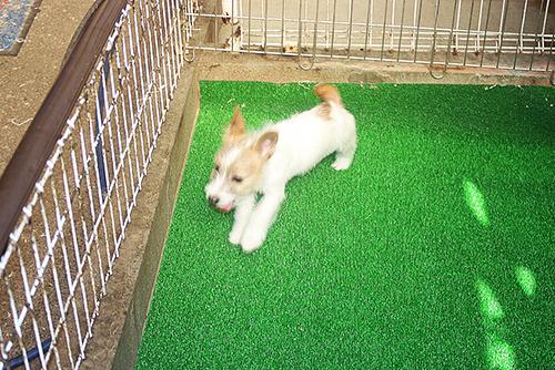 ジャックラッセルテリア ブリーダー 子犬専門店AngelWan 横浜