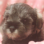 ミニチュアシュナウザー ブリーダー 子犬専門店AngelWan 横浜