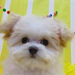 ミックス ブリーダー 子犬専門店AngelWan 横浜
