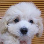 ミックス犬の子犬