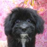 ミックス犬 ブリーダー 子犬販売の専門店 AngelWan