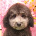 トイプードル ブリーダー 子犬販売の専門店 AngelWan