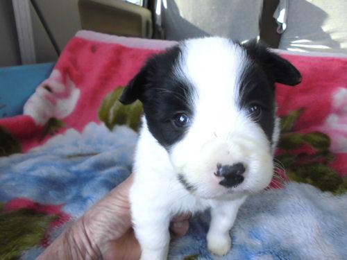 ボーダーコリー ペットショップ 子犬