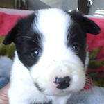 ボーダーコリー ブリーダー 子犬販売の専門店 AngelWan