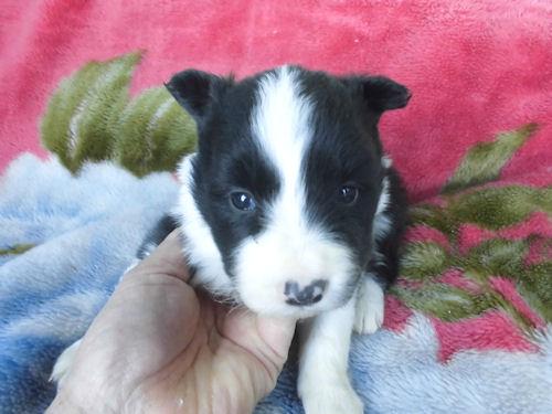 ボーダーコリーの子犬 スポーツドッグ 家庭犬