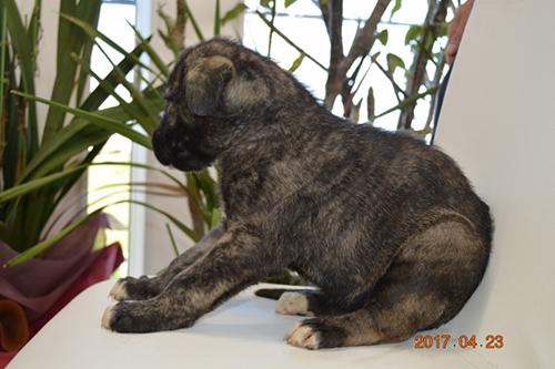 アイリッシュウルフハウンド ブリーダー 子犬専門店AngelWan 横浜