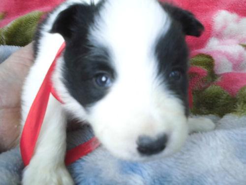 ボーダーコリー 欲しい 子犬