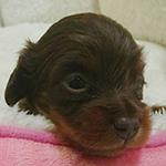 ミチュアダックスフンド ブリーダー 子犬専門店AngelWan 横浜